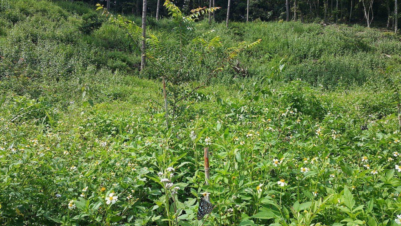 企業認養的林地蝴蝶飛舞,營造出蜜蜂友善環境。圖/屏東林管處提供