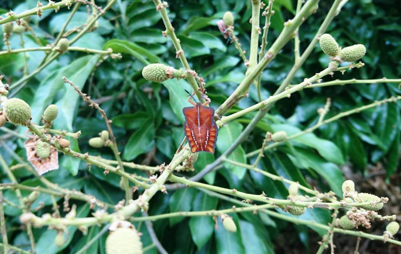今年五月間荔枝椿象大爆發,全台果樹出現蟲蟲危機,陶斯松 農政單位建議的3種合法殺...