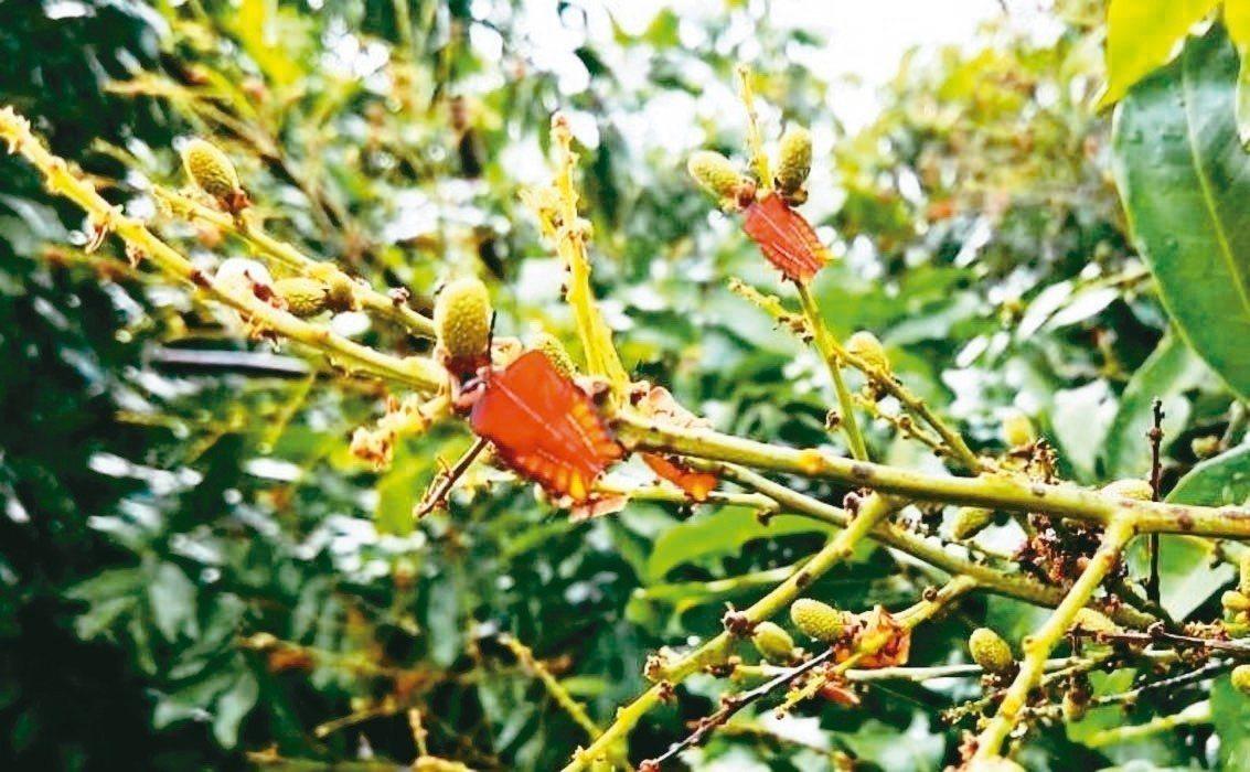 今年五月間荔枝椿象大爆發,農政單位推薦撲殺的3種環境用藥中,就有「陶斯松」。 圖...