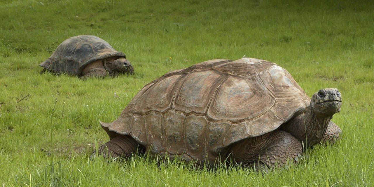 華府國家動物園還有兩隻巨型亞達伯拉象龜「路朗」和「奇娜」。 圖擷自華府國家動物園