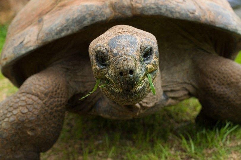 華府國家動物園巨型亞達伯拉象龜「艾力克斯」因病被安樂死,享年100歲。 圖擷自華...