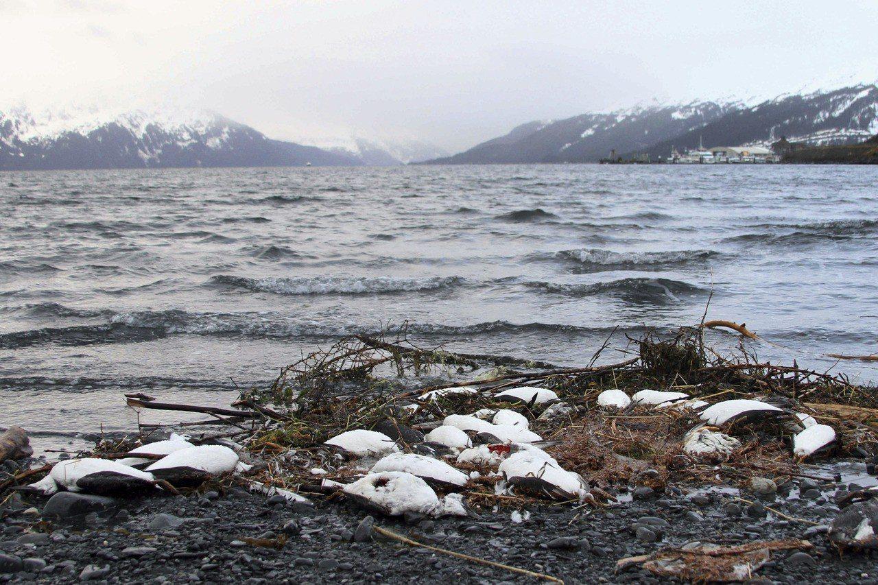 生物學家在海岸附近觀察到有大量海鳥,庫勒茲呼籲沿海社區居民舉報,以協助評估海鳥死...