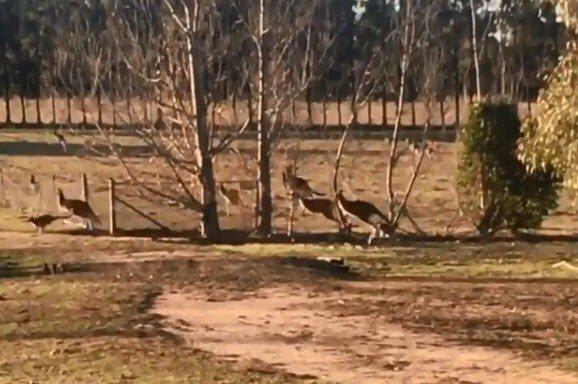 影片拍攝位置在新南威爾斯省的查爾斯特大學附近,有數十隻的袋鼠在校園中跳耀。 取自...