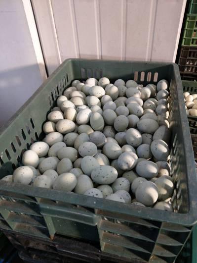 元山蛋商將發霉的雞蛋回收放在冰庫保存,待周末打成蛋液銷售。 聯合報系記者曾健祐/...