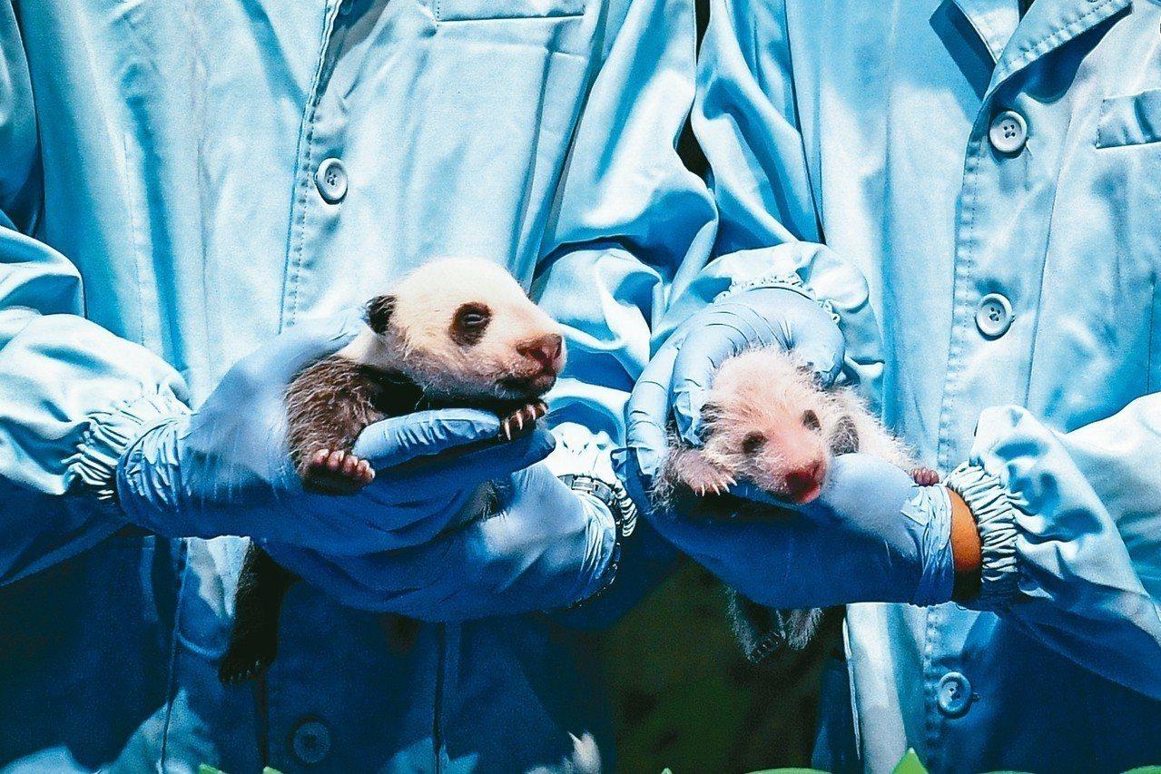 廣州大貓熊「隆隆」7月12日在廣州長隆野生動物世界產下雄性幼崽「隆仔」。7月29...