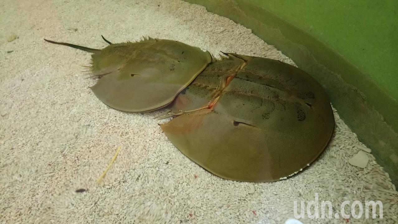 鱟都是雌雄相隨,因此又稱為「夫妻魚」。記者卜敏正/攝影