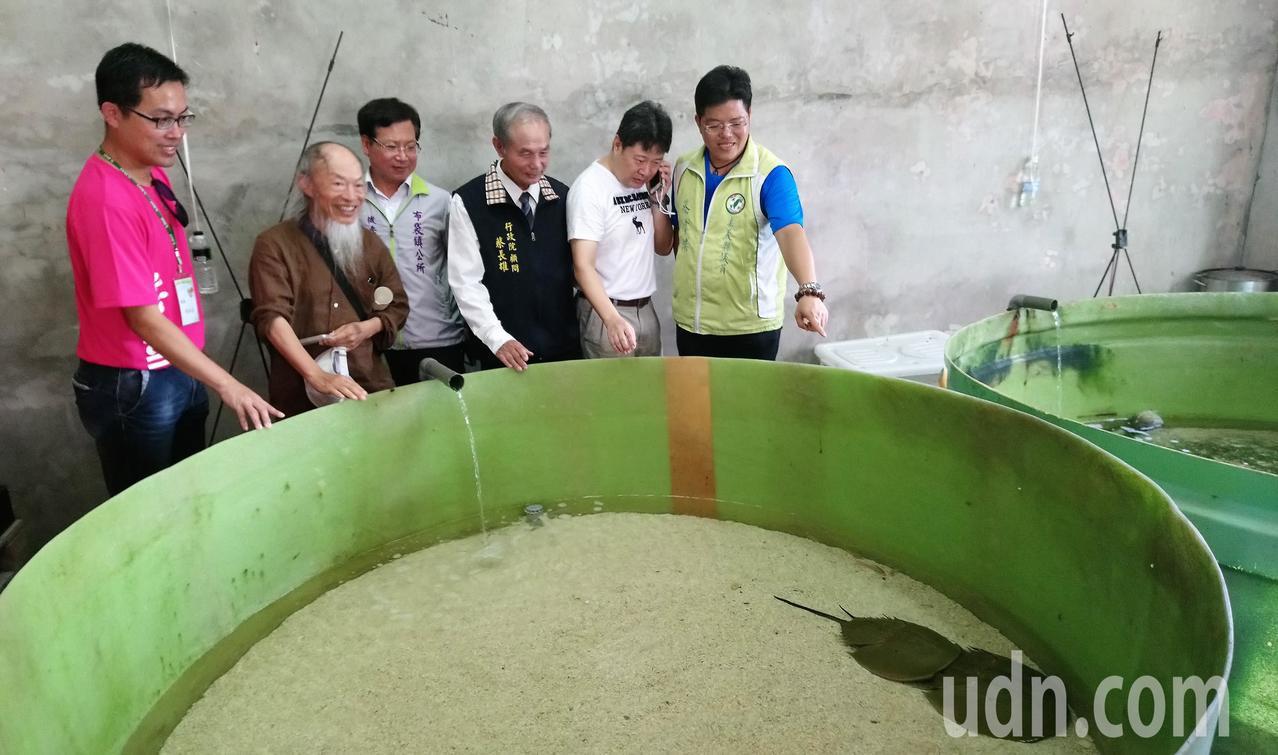 新岑國小校長黃柏嘉(左一)介紹鱟的養殖保育。記者卜敏正/攝影