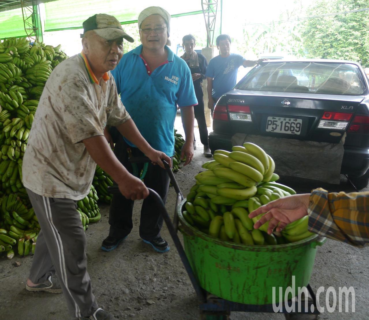 在「香蕉乳」作用下,旗山蕉農身上的汗衫通常都會出現許多重疊污漬,非一朝一夕可形成...
