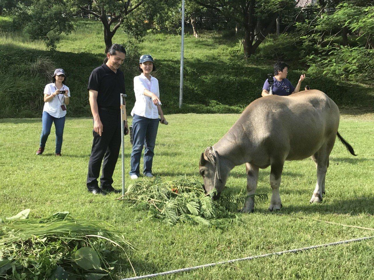 台北藝術大學繼去年迎接新校牛「奧米加咆哮獸」和牠帶來的新生小牛後,今年在小公牛滿...