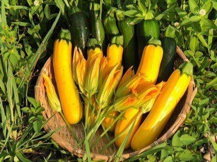 櫛瓜、櫛瓜花皆可食用。圖/香草野園提供