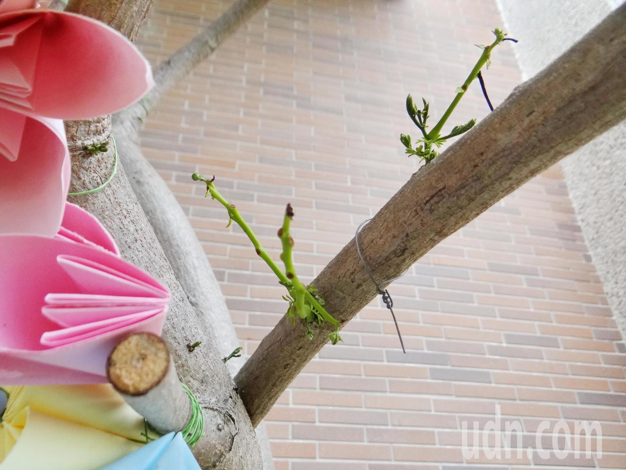 土庫鎮華聖啟能中心修前老樹,一段鋸下的枯木,半年後無根無水無土之下,竟又冒出新枝...