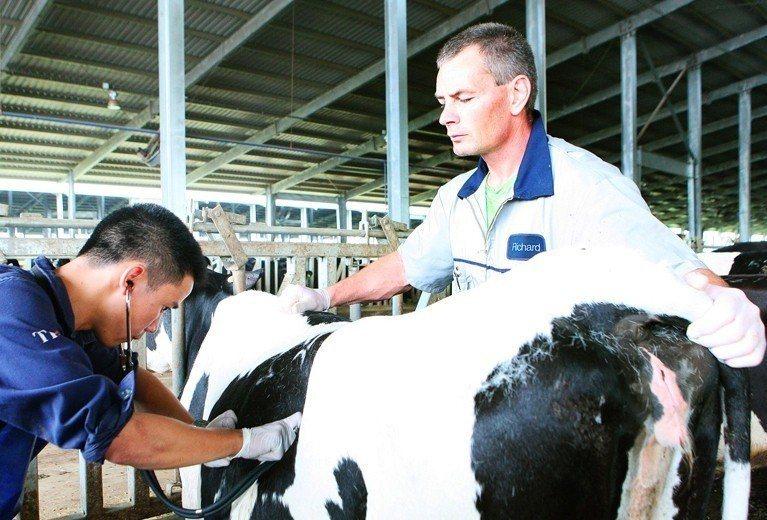 每一隻牛身上都有芯片,密切監控健康狀況與產乳量。圖/翻攝TH true MILK...