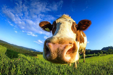 在真鮮乳的工廠內,牛隻一邊擠奶一邊聽音樂。乳牛示意圖。圖/pixabay