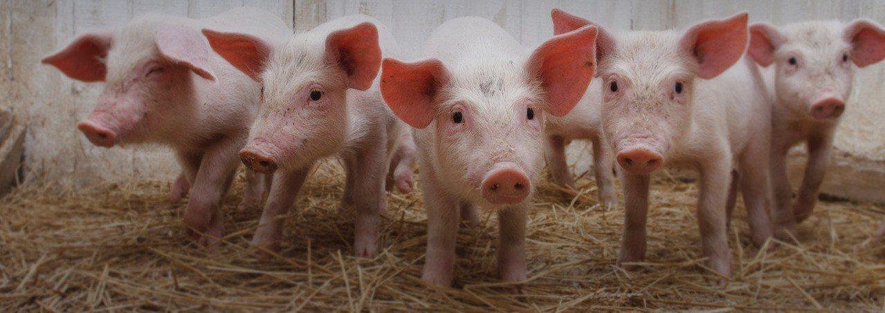 澳洲豬肉供過於求,豬肉考慮讓小豬安樂死。取自澳洲養豬業者協會官網