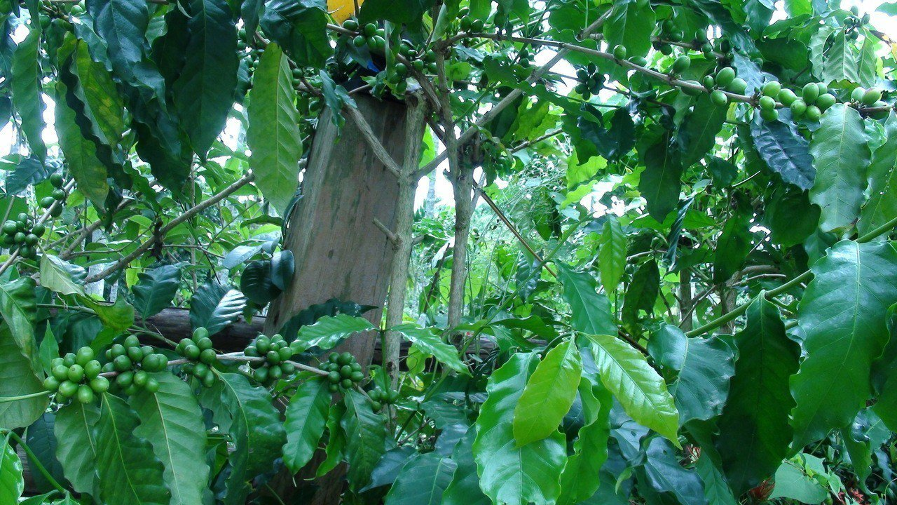 咖啡特殊的剪枝疏葉,通風更好。記者謝恩得/攝影