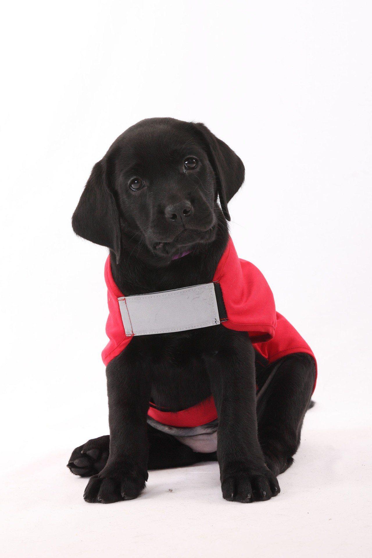 幼犬要經過嚴格篩選與訓練才能成為導盲犬。圖/惠光導盲犬學校提供
