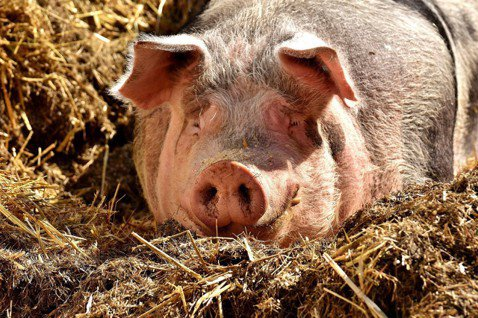 豬隻示意圖。圖/pixabay
