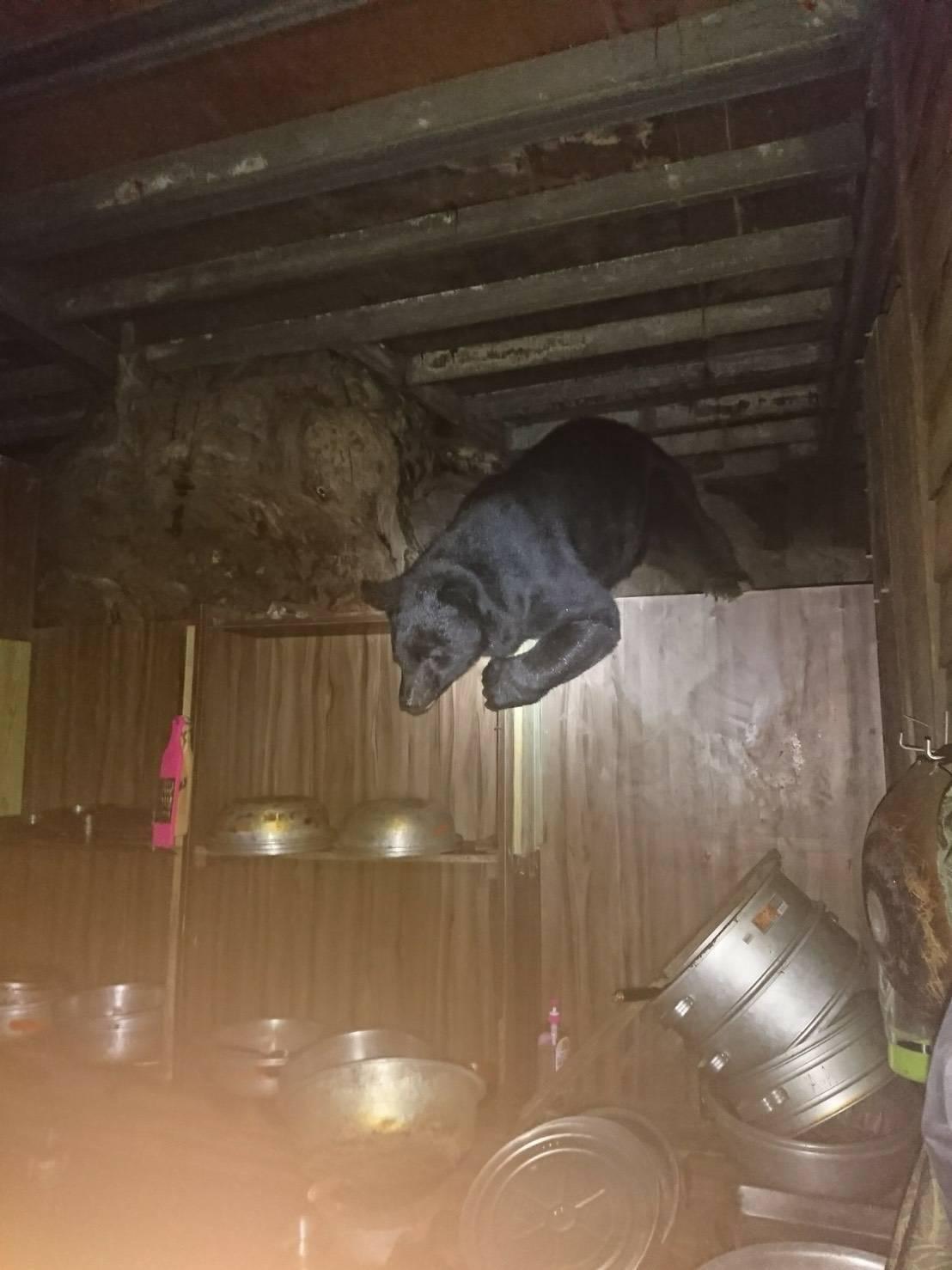 台東林管處表示,高山協作人員8月18日又在嘉明湖國家步道沿線的山屋,近距離拍到台...