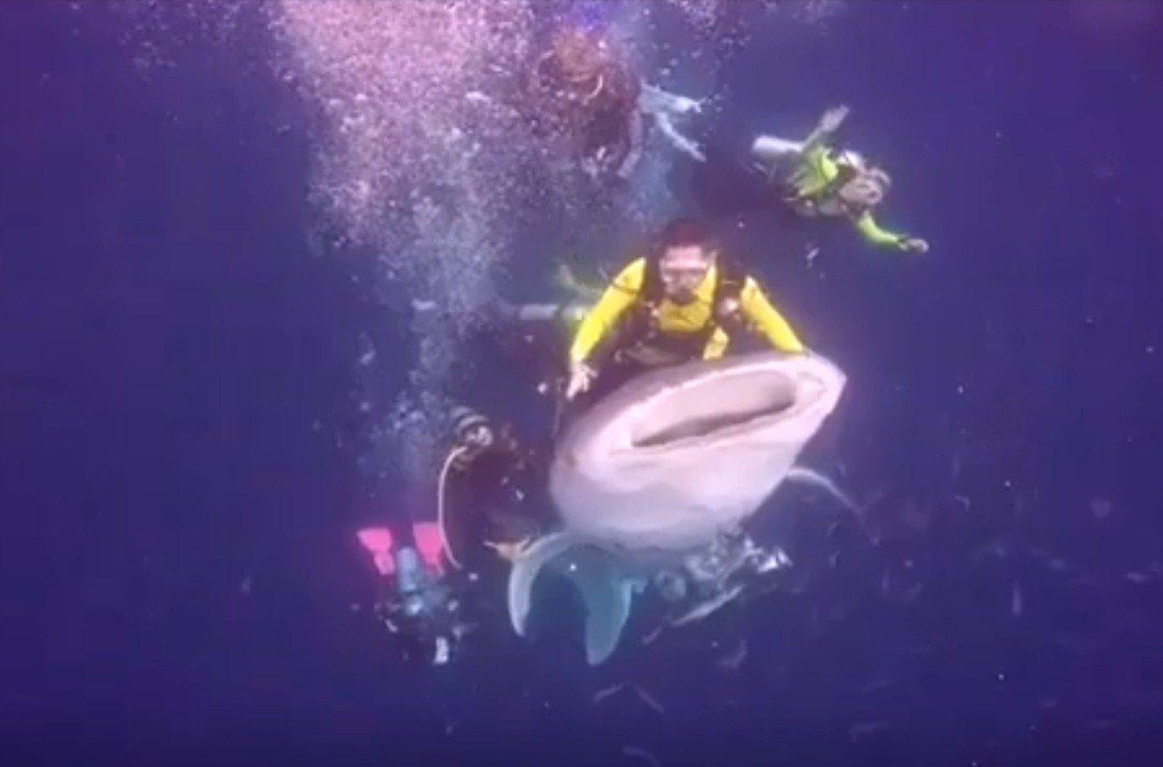 一群潛水客8月初在印尼極樂鳥灣(Cenderawasih Bay)與一頭年幼的野...