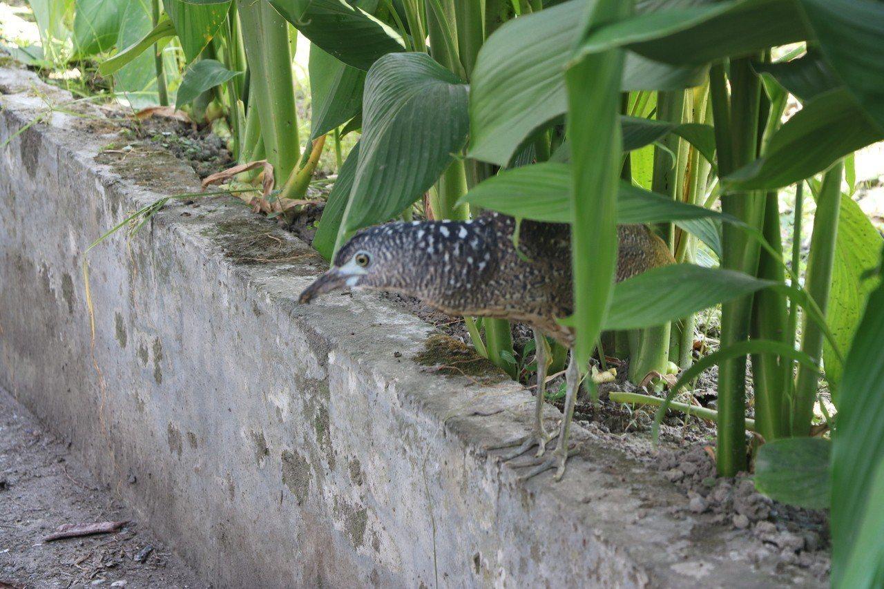 黑冠麻鷺,俗稱又叫做「大笨鳥」。圖/榮總員山分院提供