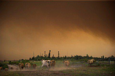 加拿大卑詩省的森林大火持續蔓延,牛群在煙霧瀰漫的牧場內奔跑。圖/美聯社