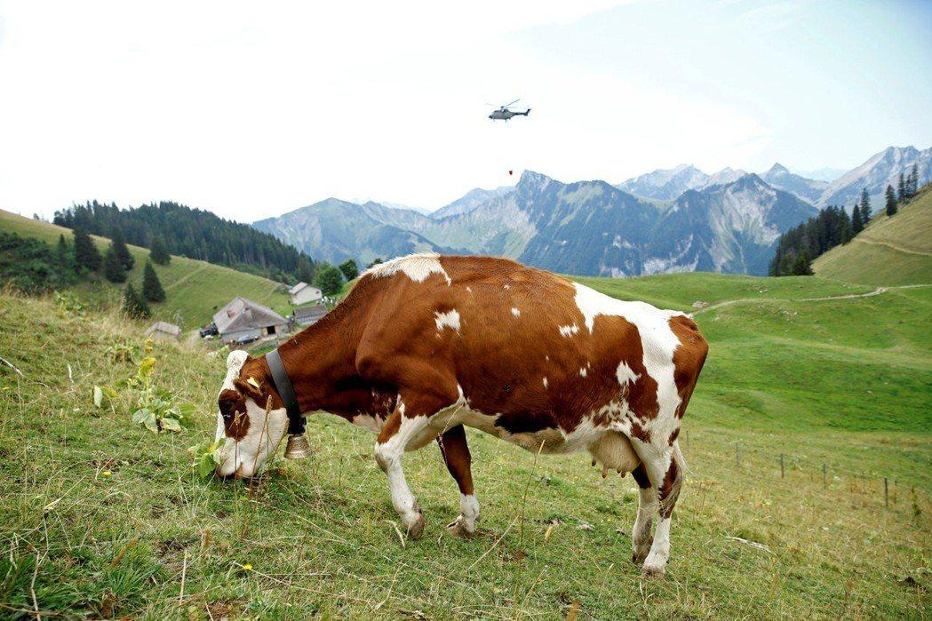 瑞士羅西尼耶爾持續乾旱,空軍派出直昇機為奶牛送水。圖/路透社