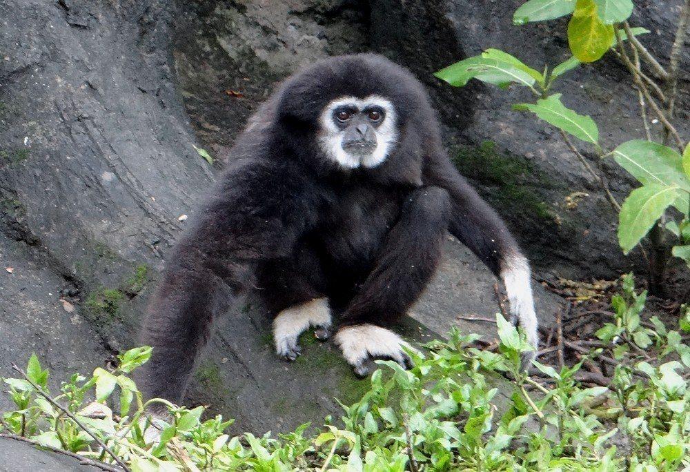 31歲的白手長臂猿「阿寶」是高齡個體。圖/台北市立動物園提供