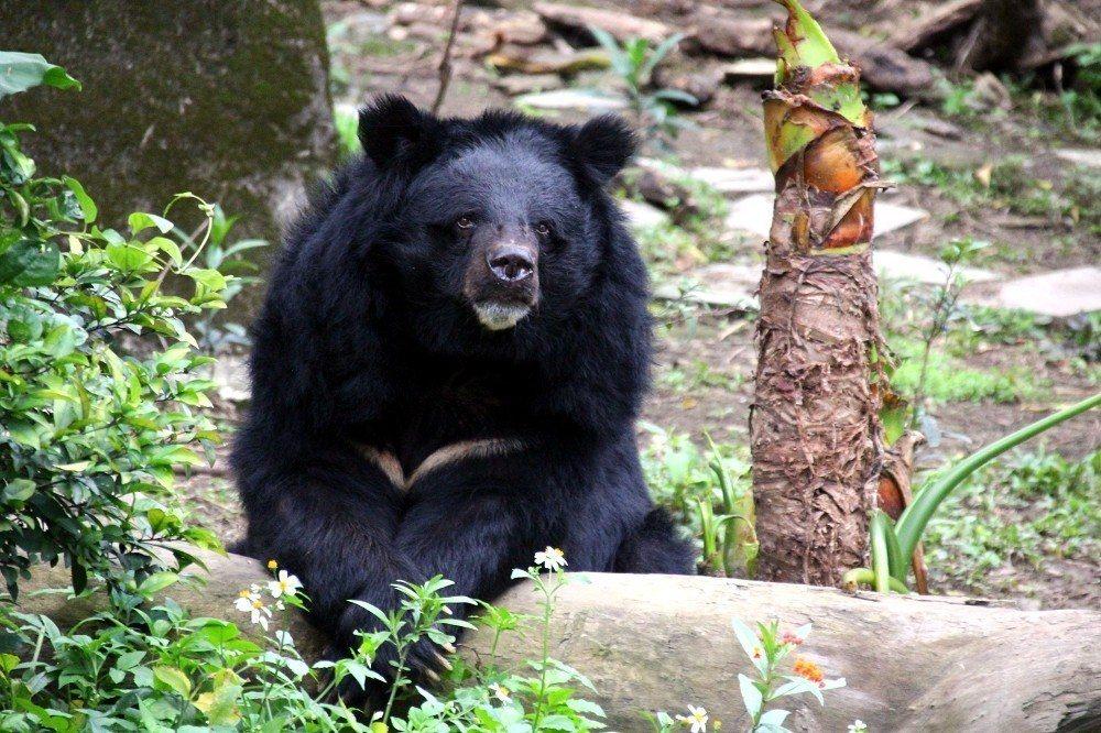 29歲的台灣黑熊「小熊」還是老當益壯。圖/台北市立動物園提供