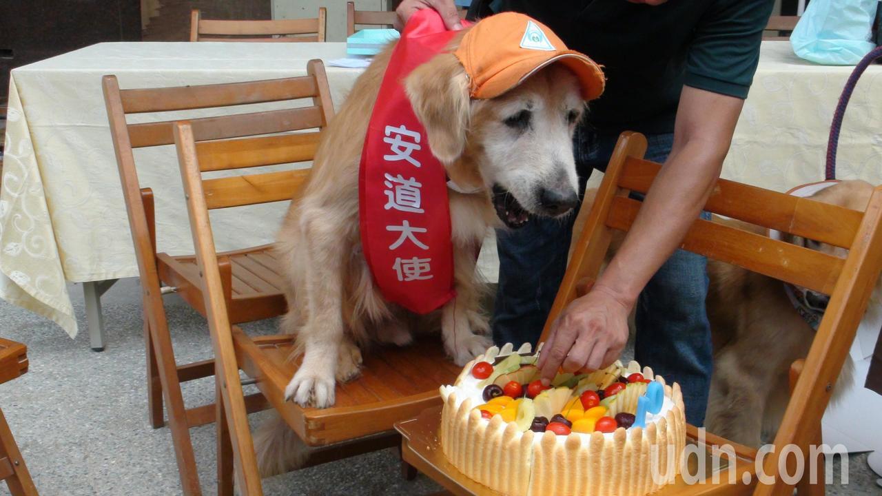 網紅黃金獵犬罔市今天慶祝10歲生日,已是高齡犬。記者謝恩得/攝影