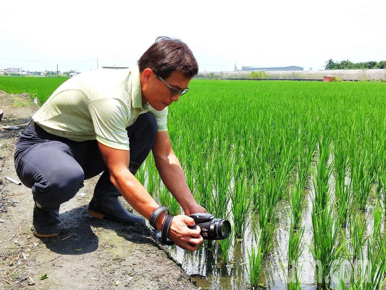 彰化縣劍門生態花果園休閒農場負責人賴仲由喜歡生態攝影,最近在附近的水田意外拍攝一...