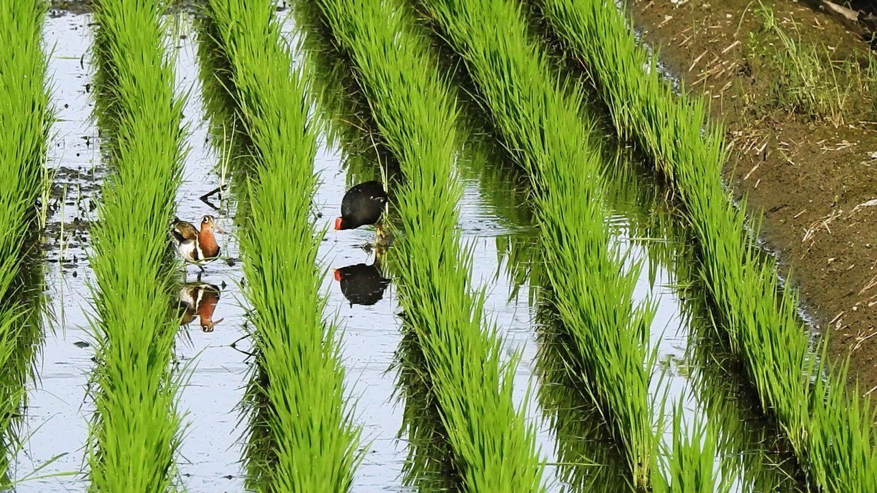 彰化縣大村鄉茄苳村有一處水田,紅冠水雞(右)築巢時和彩鷸邂逅。照片/賴仲由提供