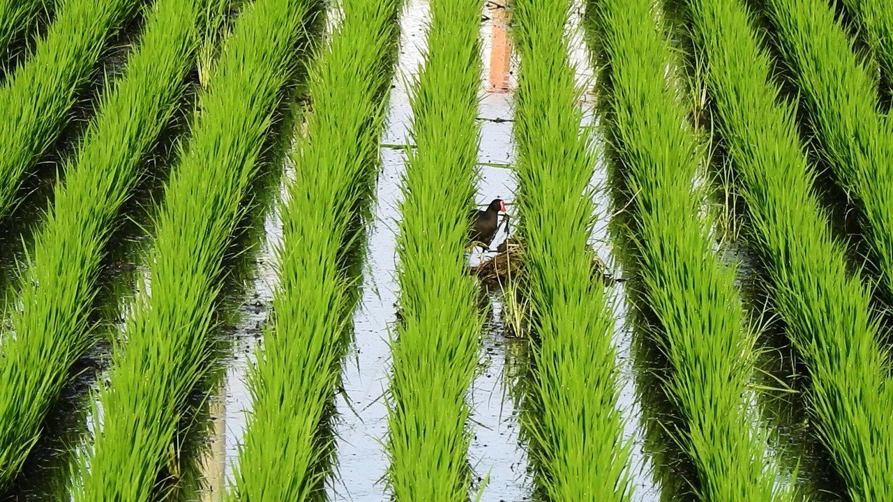 彰化縣劍門生態花果園休閒農場負責人賴仲由喜歡生態攝影,最近在附近的水田拍攝到紅冠...