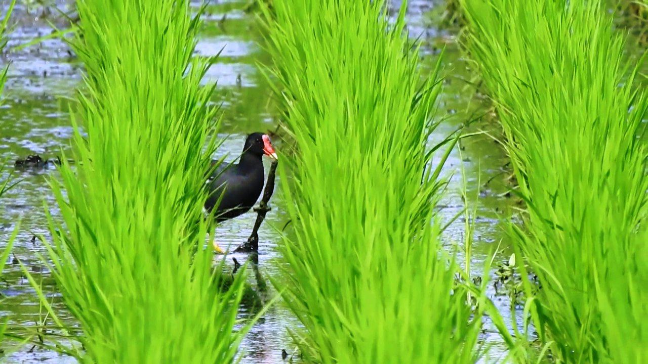 彰化縣劍門生態花果園休閒農場負責人賴仲由在附近的水田,拍攝到紅冠水雞的築巢過程。...