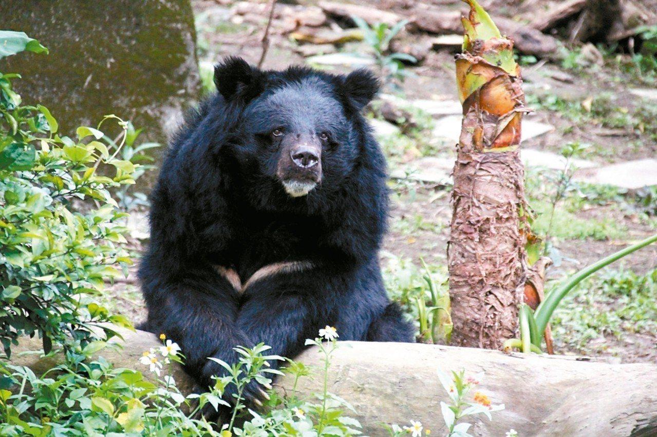 29歲的台灣黑熊「小熊」還是老當益壯。 圖/台北市立動物園提供