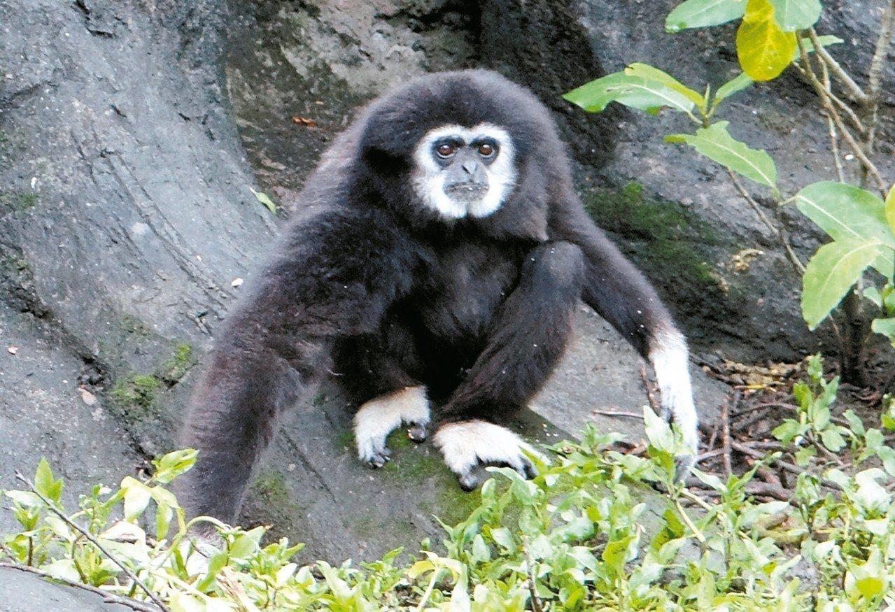 31歲白手長臂猿「阿寶」,已是高齡族。 圖/台北市立動物園提供