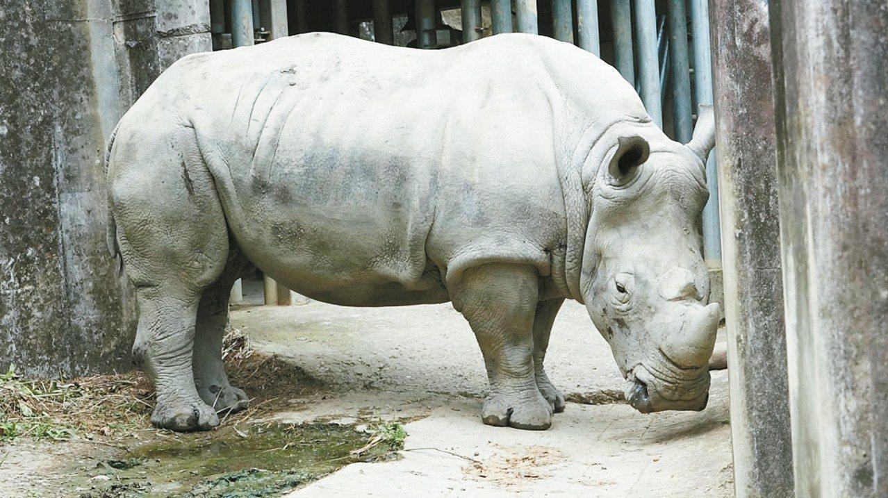 白犀牛奶奶「犀慧」38歲了。 圖/台北市立動物園提供