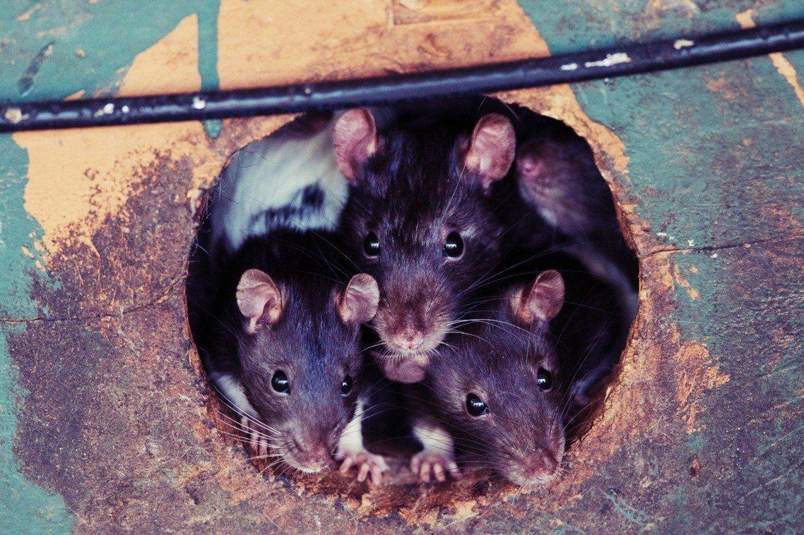 示意圖,非築地老鼠。 圖/路透社