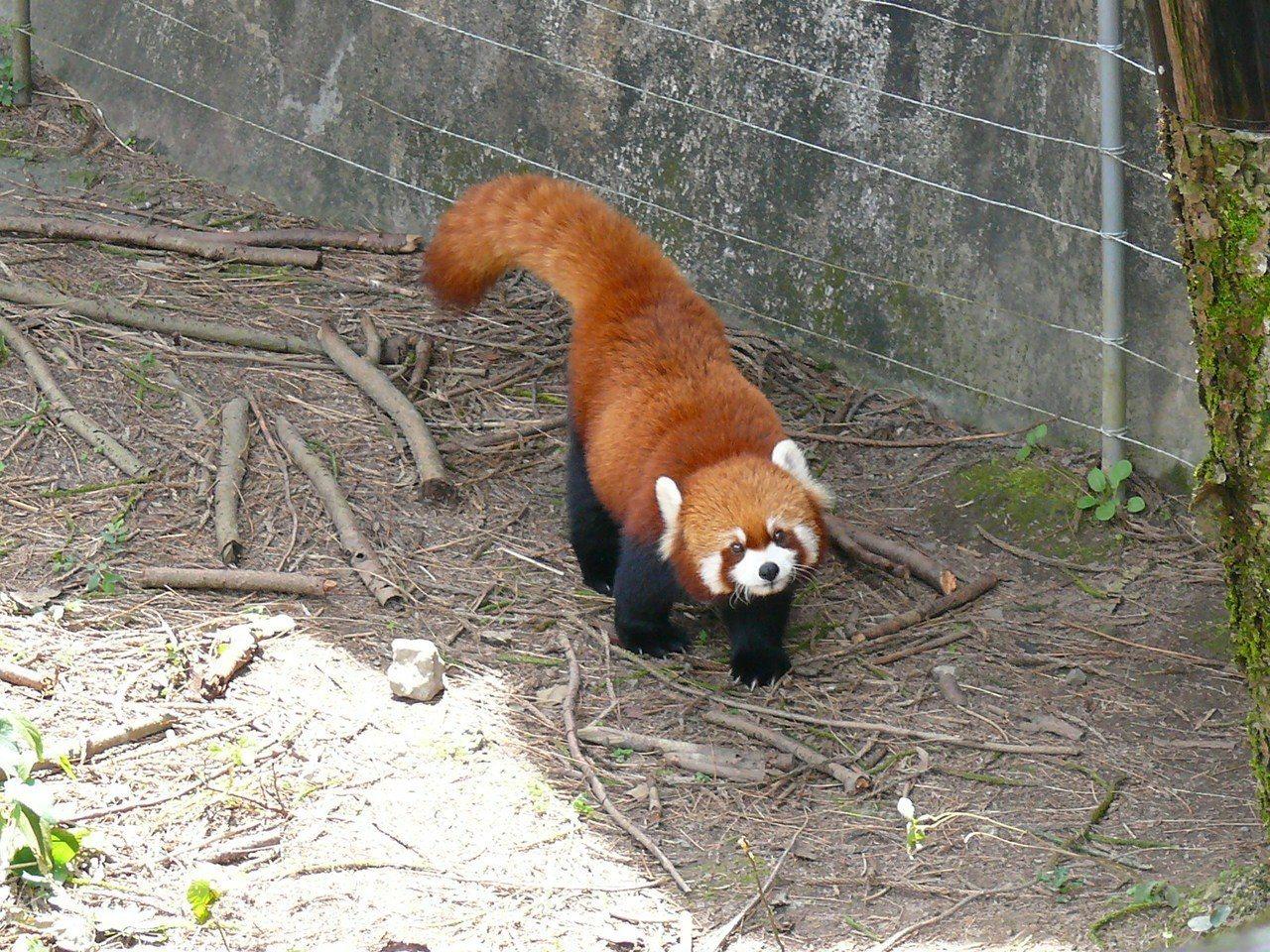 恭禧小貓熊「YaYa」再度當媽媽。圖/台北市立動物園提供