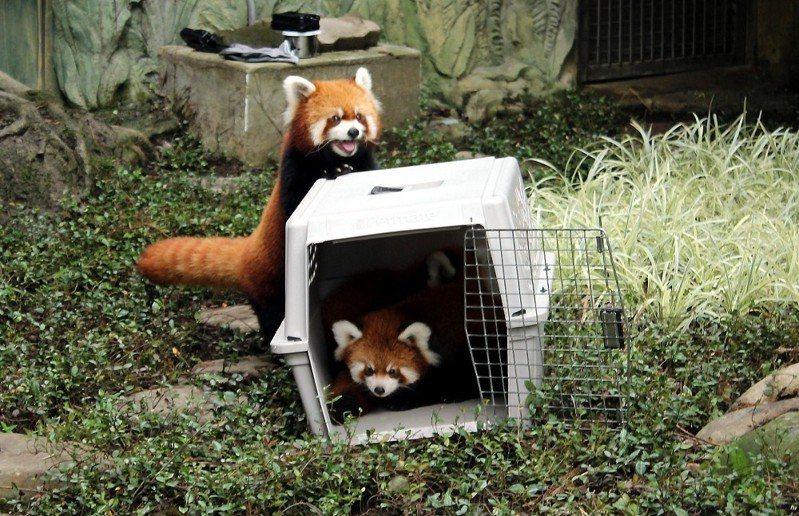 2015年時,「YaYa」陪雙胞胎「奇奇」和「妙妙」第一次到戶外活動場。圖/台北市立動物園提供