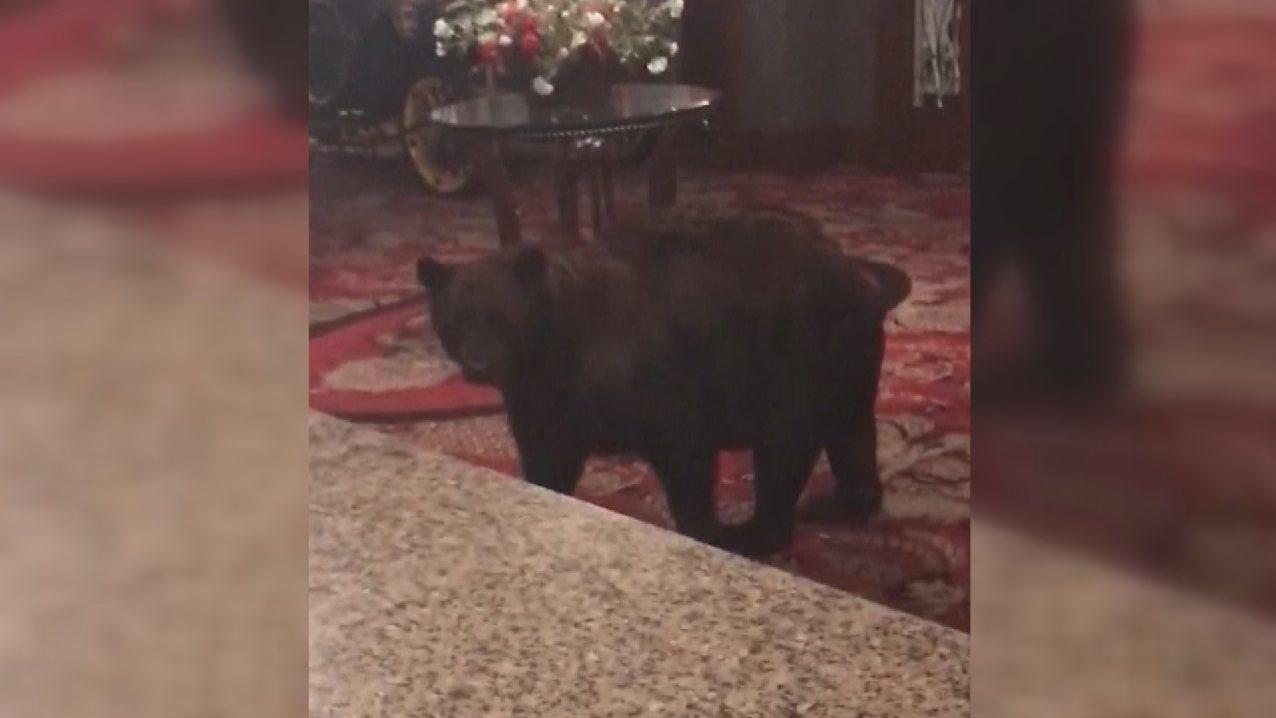 一頭黑熊於23日凌晨闖入美國科羅拉多州史丹利飯店大廳閒晃,據稱沒有逗留太久即離去...