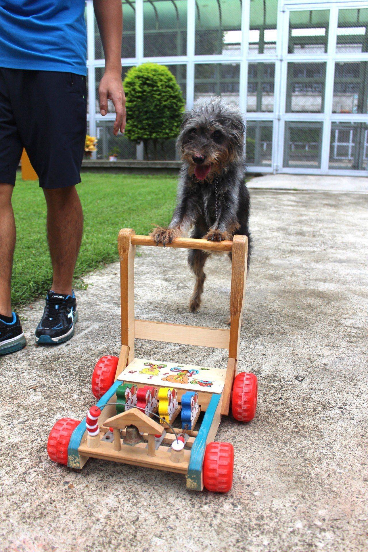 新竹監獄犬訓班這隻會推車的狗「毛毛」是獄所內的狗老大,已到獄所5年多,仍待認養。...
