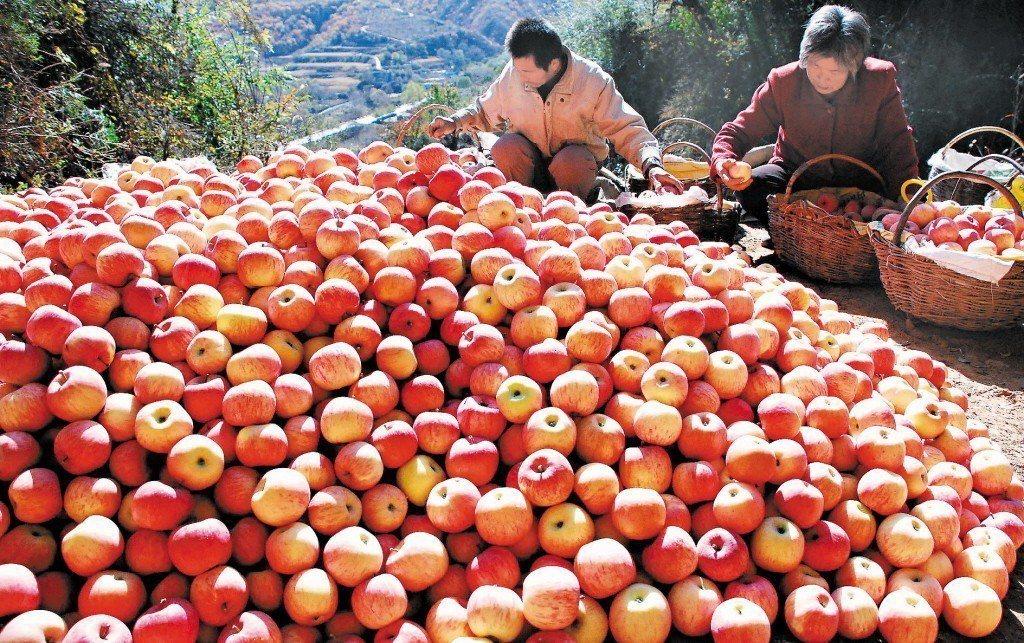 成堆的蘋果。新華社