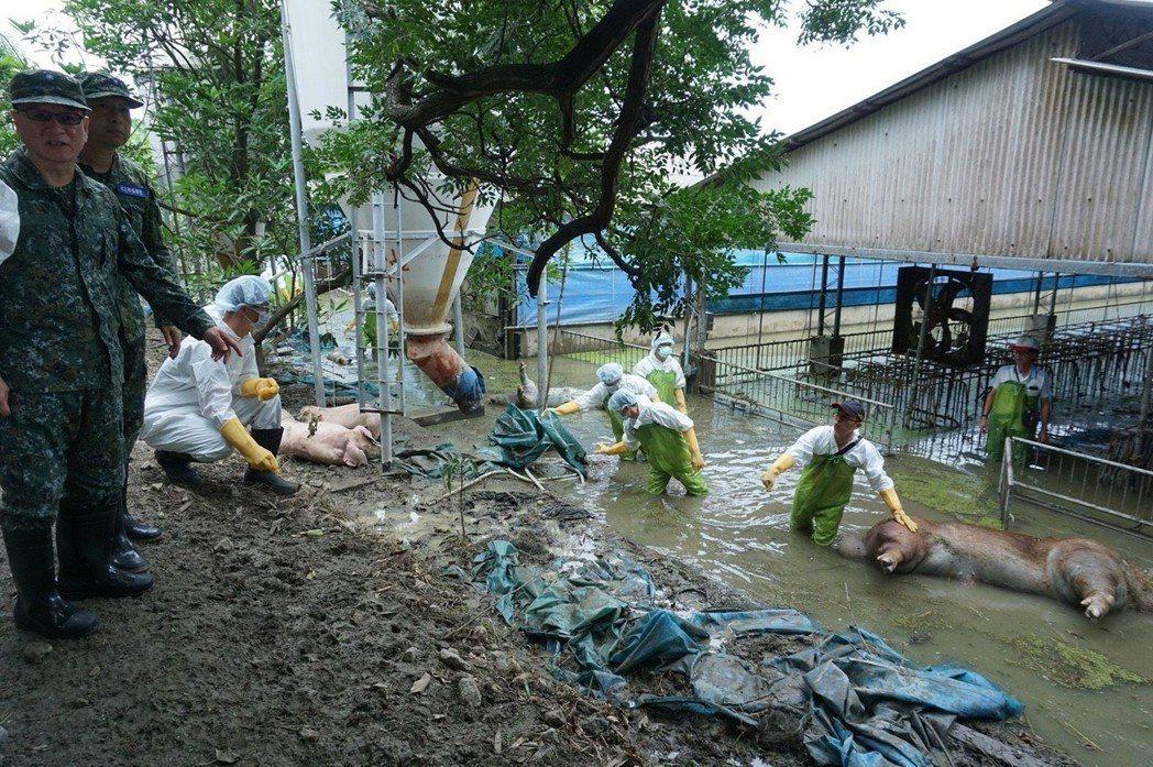 嘉義地區淹水造成養豬場大損失,眾多豬屍至今還泡在水裏,10軍團救災官兵已往滿布豬...