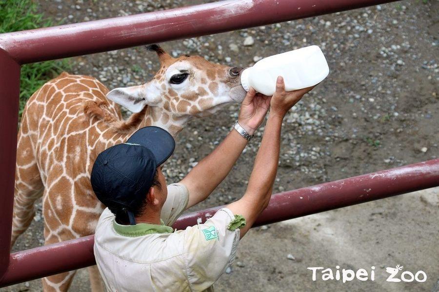 出生才兩個月的長頸鹿寶寶「麥照」克服腳變形等因素,目前已可站立喝奶賣萌。(pho...