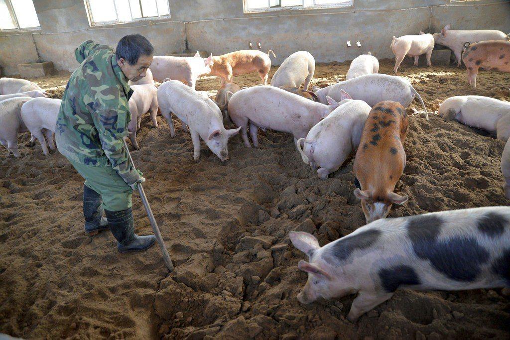 非洲豬瘟在中國已有5起疫情,中國農業農村部發言人廣德福表示,從全球範圍看,非洲豬...