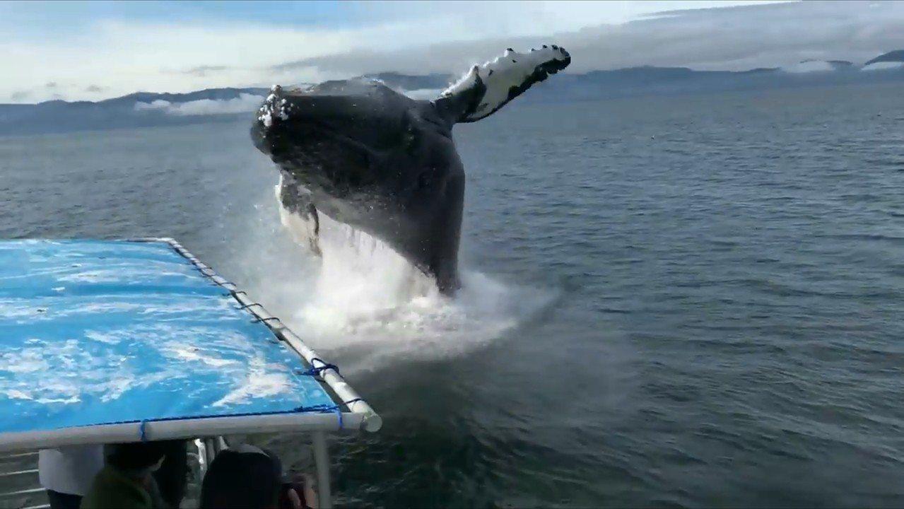 一群遊客日前在阿拉斯加沿岸乘坐賞鯨船巡訪鯨魚蹤跡,沒想到1隻座頭鯨突然從船邊一躍...