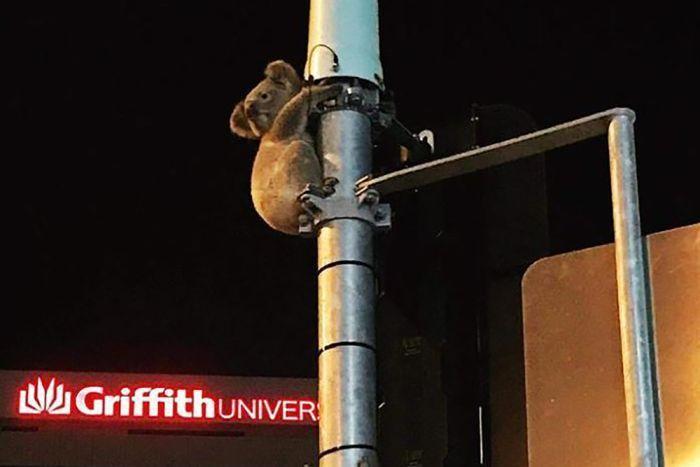 一隻無尾熊25日晚間誤入市區,緊抱昆士蘭州黃金海岸一處繁忙路口的交通號誌燈桿,一...