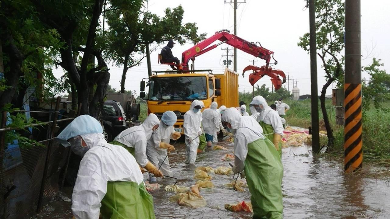 工作人員徒手清運數十萬隻雞。圖/讀者提供