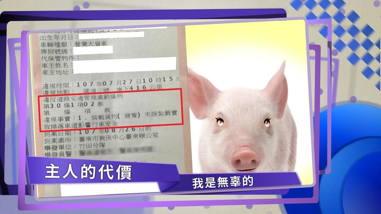 影/小豬國道逃亡 豬主人吃9千元紅單