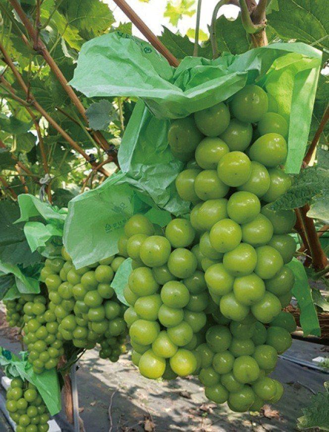 麝香葡萄有特殊果花香氣,2kg售價2,299元。圖/遠百提供